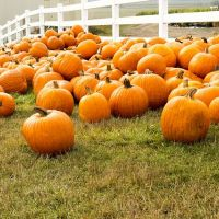 farmyard full of pumpkins