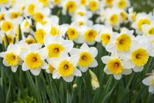 bunches of yellow and white flowers
